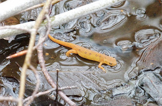Eastern Newt in a Vernal Pool